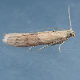 Ephestiodes species ?