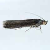 5896  Lesser Cornstalk Borer - Elasmopalpus lignosellus