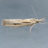 5439  Woolly Grass-veneer – Thaumatopsis pexellus