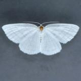 6680 Four-lined Cabera Moth - Cabera quadrifasciaria