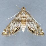 4776 Petrophila hodgesi