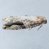 3233 Black-crescent Proteoteras - Proteoteras crescentana