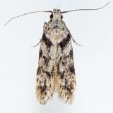 1874 Pseudotelphusa quercinigracella