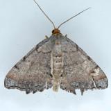 6340 Minor Angle Moth – Macaria minorata
