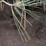 Torrey Pine needles