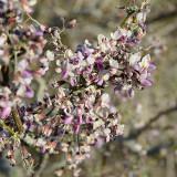 Desert Ironwood flowers
