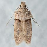 2206 Palo Verde Webworm - Faculta inaequalis