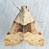 8474 Hemeroplanis incusalis
