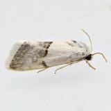Ponometia acutus