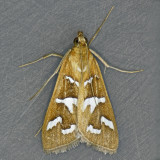 5256 Fractured Western Snout Moth – Diastictis fracturalis