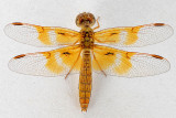 Mexican Amberwing female (with map)