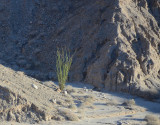 Early blooming Ocotillo - Font's Point