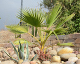 Mexican Fan Palm - Washingtonia robusta