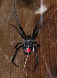 Southern Black Widow Spider female  - Venomous!