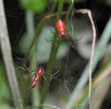 Blacktailed Red Sheetweavers