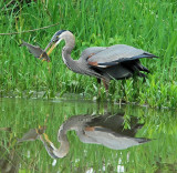 Great Blue Heron with catch 10:52:34