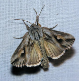 9582 Gray Half-spot - Nedra ramosula