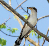 Yellow-billed Cuckoo - with dragonfly