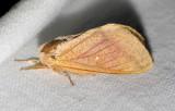 7715  Rosy Maple Moth - Dryocampa rubicunda (worn)
