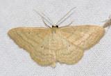7169  Soft-lined Wave - Scopula inductata