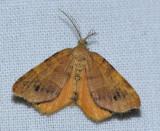 6271.1 Orange-wing - Mellilla xanthometata