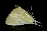 4869 Common Glaphyria - Glaphyria glaphyralis