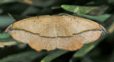 6974 Juniper Twig Geometer - Patalene olyzonaria