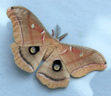 7757 Polyphemus Moth - Antheraea polyphemus