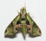 7859 Pandorus Sphinx - Eumorpha pandorus