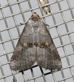 9039 Yellow-spotted Graylet  - Hyperstrotia flaviguttata