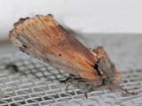 8010 Red-humped Caterpillar - Schizura concinna