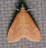 5135 Orange-toned Mecyna - Mecyna submedialis