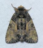 9556 Cloaked Marvel  - Chytonix palliatricula female
