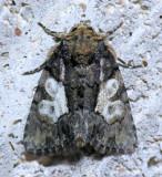 9556 Cloaked Marvel - Chytonix palliatricula  male