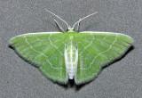 7058 Wavy-lined Emerald - Synchlora aerata