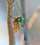 Oklahoma Dragonflies and Damselflies