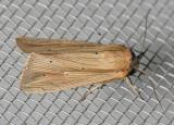 10446 Many-lined Wainscot - Leucania multilinea