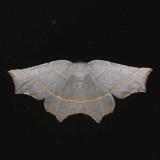 6819  Pale Metanema - Metanema inatomaria