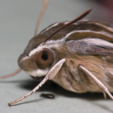 7894 White-lined Sphinx