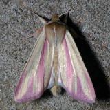 10434 Pink Streak - Faronta rubripennis