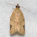 3689 Tortrix Moth - Clepsis [Ptycholoma] virescana