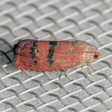 3494  Filbertworm Moth - Cydia latiferreana