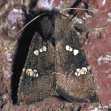 9507  Vernonia Borer - Papaipema limpida