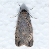 6662  Spring Cankerworm - Paleacrita vernata