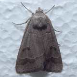 8591 Common Oak Moth - Phoberia atomaris