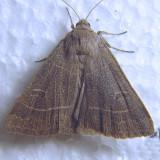 9555 Even-lined Sallow - Ipimorpha pleonectusa ???