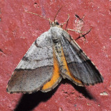 6271.1 Orange Wing - Mellilla xanthometata