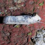 1011 Schlaeger's Fruitworm - Antaeotricha schlaegeri