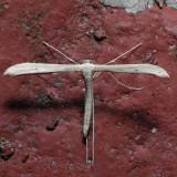 6212-14 Hellinsia kellicottii-lacteodactylus-glenni ??