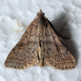 8370 Bent-winged Owlet - Bleptina caradrinalis